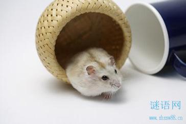 关于老鼠的谜语