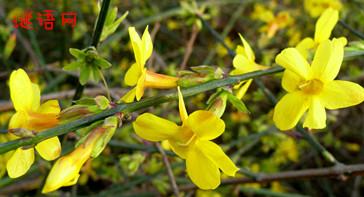 谜底是迎春花的谜语_关于迎春花的谜语